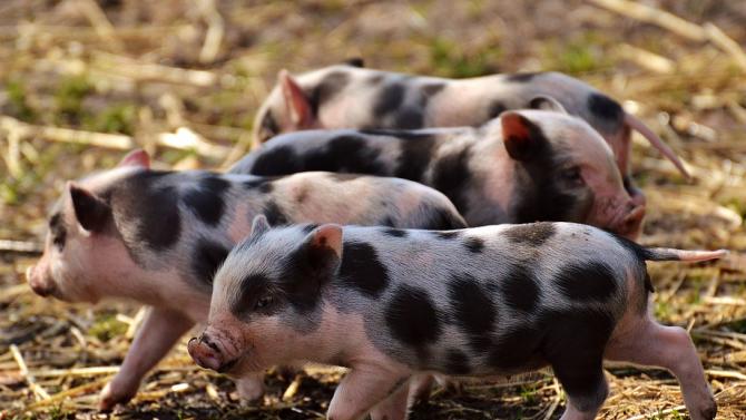 Над 20 огнища на африканска чума по свинете в Румъния