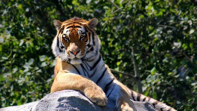 Индийските власти преследват тигър, убил осем души