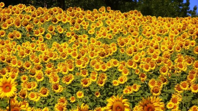 В област Сливен се отчитат по-ниски добиви на слънчоглед и царевица заради сушата