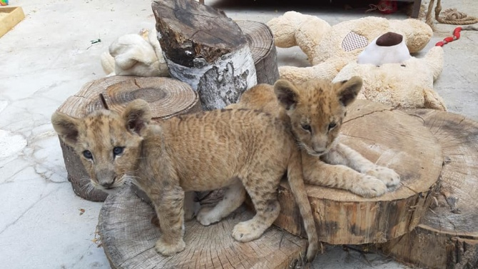 Лъвчетата Косара и Симба растат игриви във варненския зоокът
