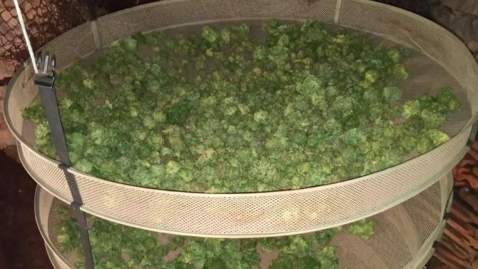 Разкриха нива с марихуана и сушилня за дрога край Асеновград, петима са арестувани