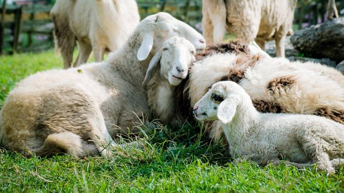 Определена е ставката по Схемата за преходна национална помощ за овце-майки и кози-майки за кампания 2020 г.