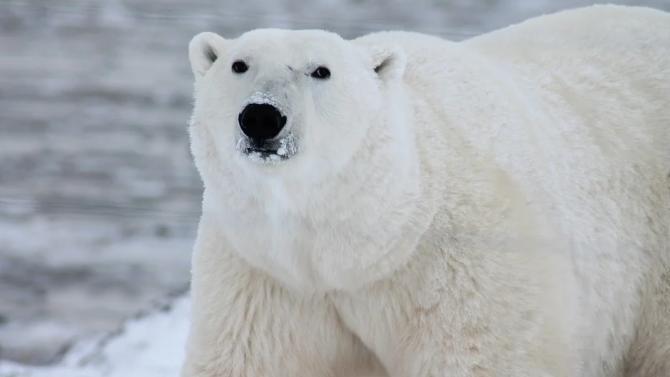 Полярни мечки атакуваха камион с отпадъци