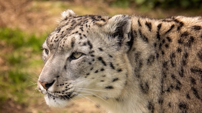 Снежният леопард Никс пристигна в Софийския зоопарк
