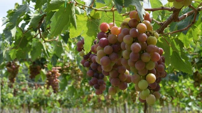 Втори прием по de minimis за плодове, зеленчуци, маслодайна роза и винени лозя се отваря от 26 октомври