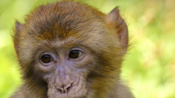 Маймунче се роди във Варненския зоопарк