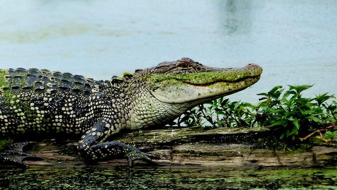 Мъж, излязъл на риболов в Бразилия, улови алигатор, който миг