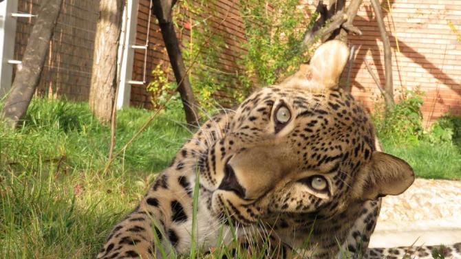 В Софийския зоопарк вече има и женски персийски леопард