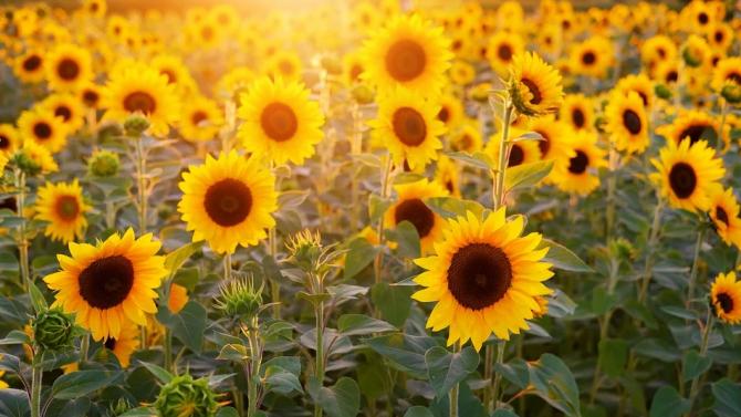 Прибран е слънчогледът в четири общини в Пернишка област