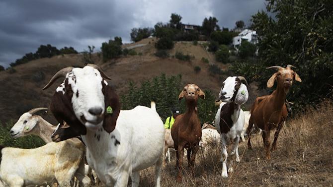 Националната овцевъдна и козевъдна асоциация: Местната власт раздава пасищата на приближени хора