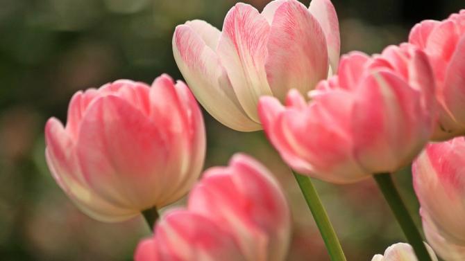 Започна засаждането на пролетните цветя в София