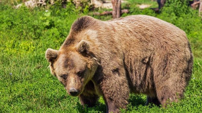 WWF започва кампания за опазване на мечките в България