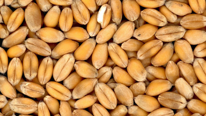 Закъснява сеитбата на пшеницата и ечемика в Ямболска област