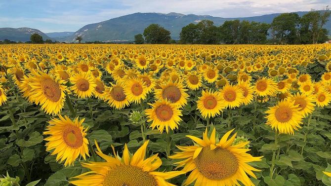 Слънчогледовата реколта в Добричкия регион поскъпва
