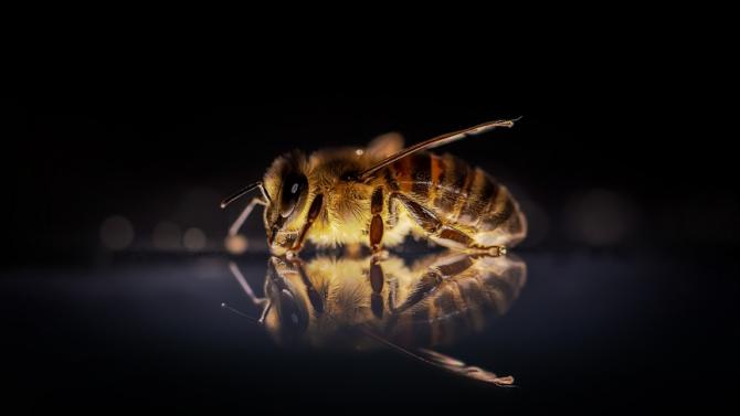 Учени откриха в Австралия пчели, които събират мед през нощта