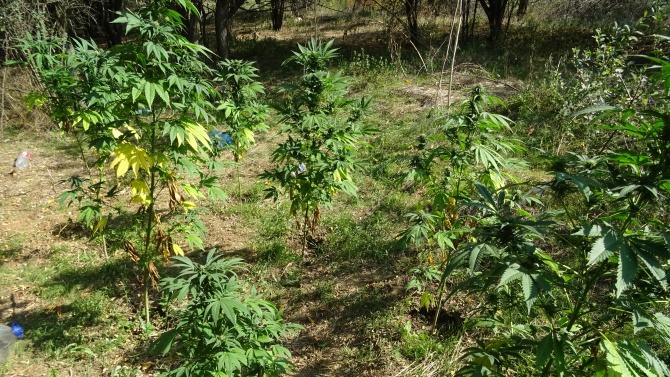 46 растения канабис са иззети при претърсване на необитаем имот