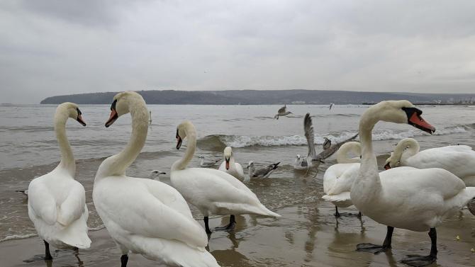 Лебедите пристигнаха на варненския плаж