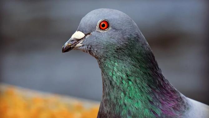 Рекордна цена за пощенски гълъб на търг в Белгия