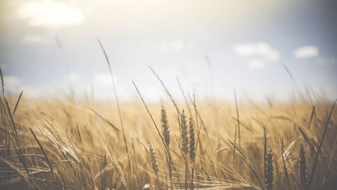 Масиви с млада пшеница в Добричка област започнаха да пожълтяват заради продължаващото засушаване