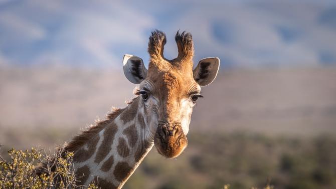 Сложиха GPS устройство на единствения бял жираф в света