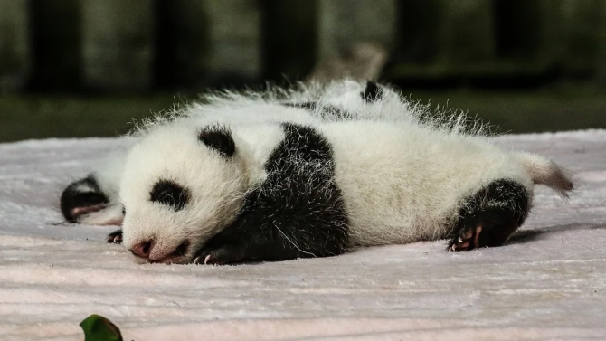 Първата панда, родена в Нидерландия, с дебют пред публика
