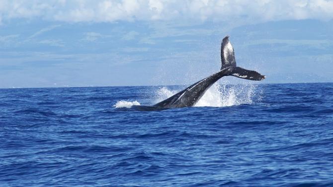 Стотина кита гринди загинаха край бреговете на Нова Зеландия