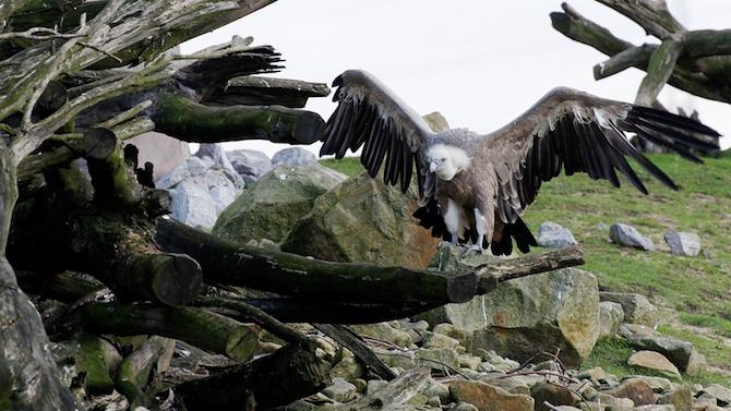 Рекорден брой белоглави лешояди обитават Източните Родопи