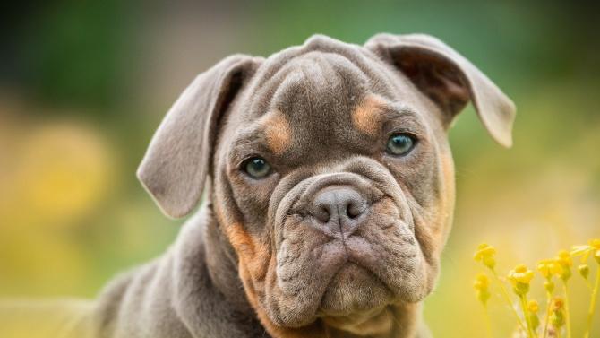Нови случаи на нелегални боеве с кучета