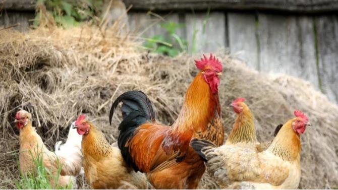 В Разградско забраниха на стопаните да пускат домашните си птици извън двора