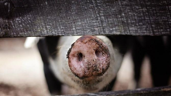 31 случая на африканска чума по свинете през ноември