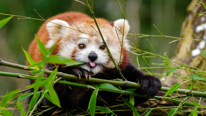 Червените панди Ичиха и Попо направиха своя дебют пред публика