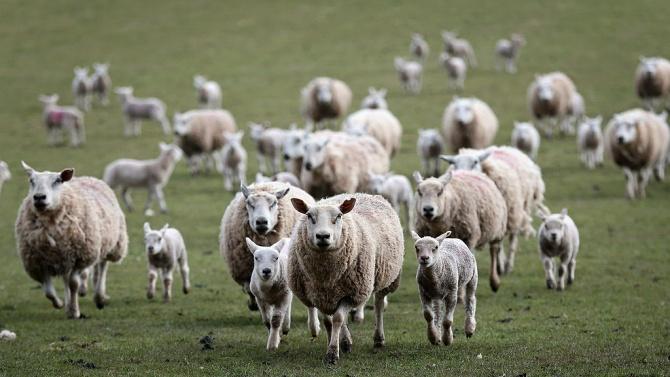 Определени са ставките за обвързано подпомагане за овце-майки, кози-майки и месодайни крави за 2020 г.