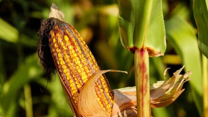 Ето колко царевица и слънчоглед са произведени за 2020 г. у нас
