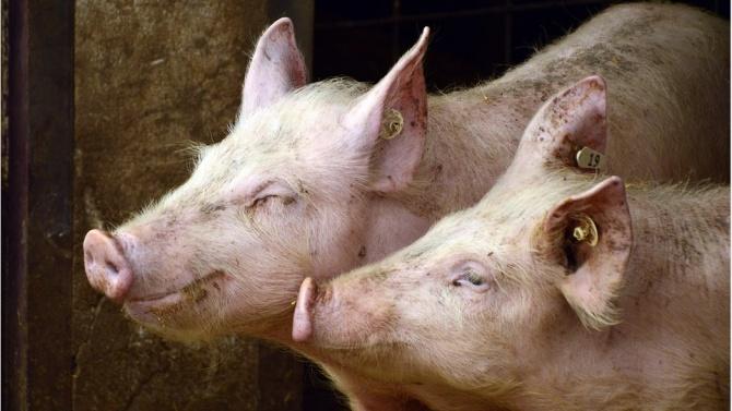 ЕК възстановява на България над 15 млн. лв за борба с Африканската чума