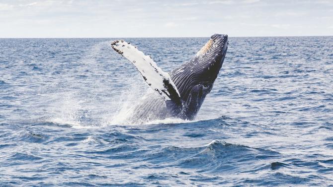 Изследователи мислят, че са открили непознат вид клюномуцунест кит край