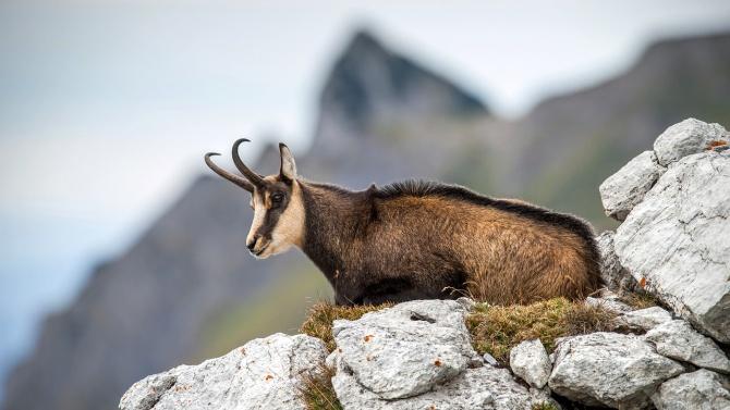 Тома Белев показа шокиращи снимки на убити бременни диви кози