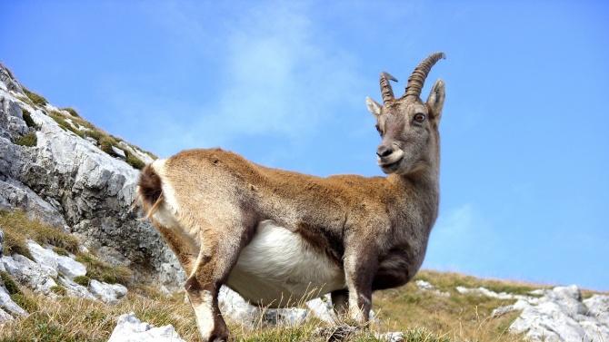 """Разкриха подробности за убитите бременни диви кози в парк """"Пирин"""""""