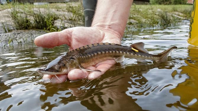 Удължава се забраната за улов на застрашени видове есетрови риби в българската акватория