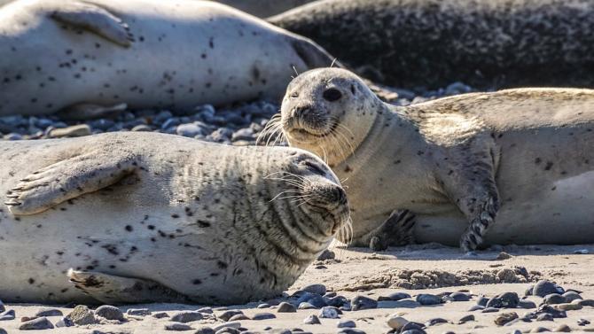 """Антарктически тюлени общуват в стил """"Междузвездни войни"""""""