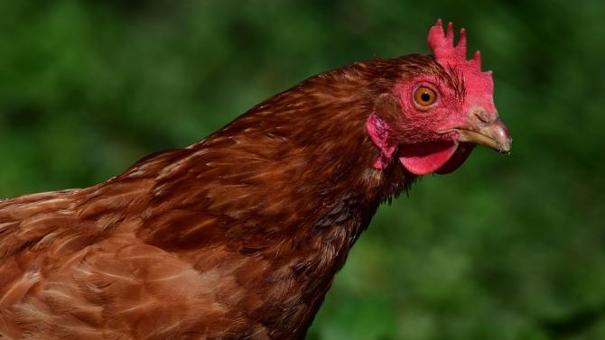 Хавайски остров е превзет от хиляди диви кокошки