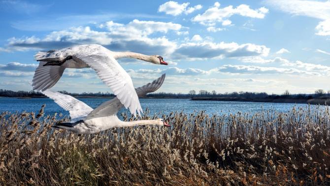 В топлата зима 400 пойни и тундрови лебеди намериха убежище в Шабленското и Дуранкулашкото езеро