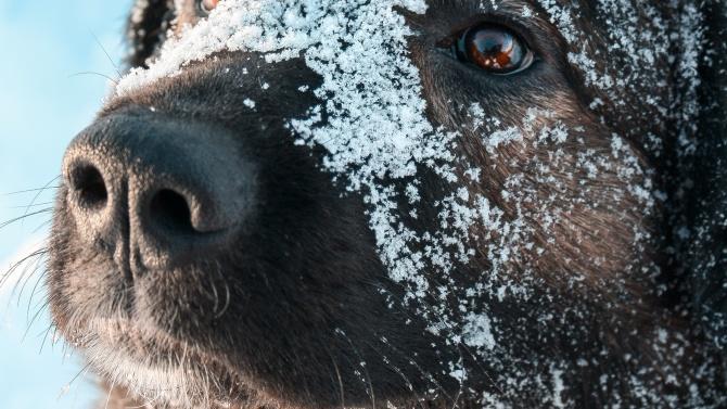 Кавказка овчарка нахапа 10-годишно момиченце