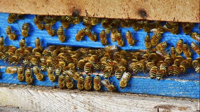 Да бъде премахната двойната регистрация на пчелините, реши парламентът на първо четене