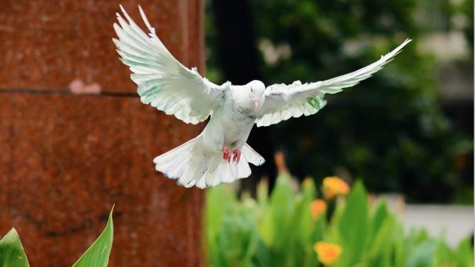 Гълъб прелетя 15 хиляди километра от САЩ до Австралия
