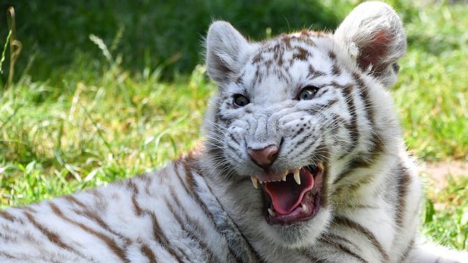 Почина бялото женско тигърче Ниеве