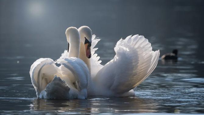 Броят лебедите във Варненския залив