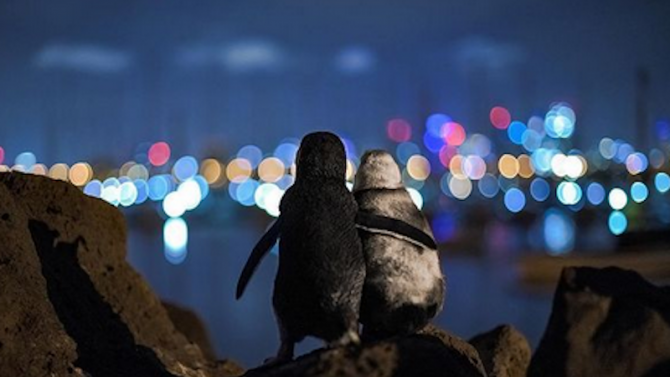 Романтичен кадър на прегърнати пингвини спечели престижна фотографска награда