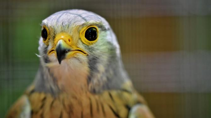 Започна размножителният сезон за ловните соколи в Спасителния център на