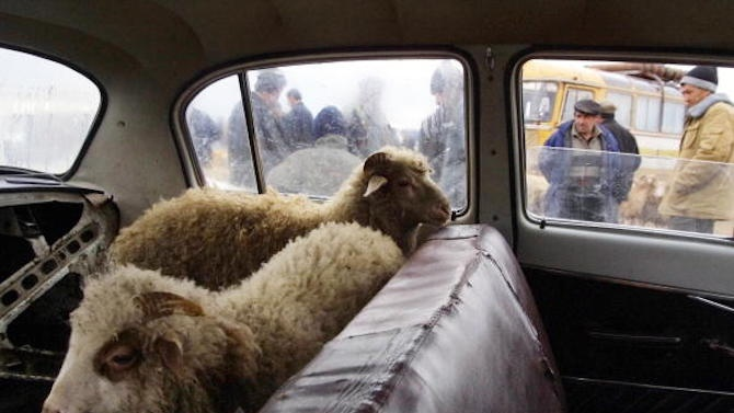 Контрабандисти скриха овце на необичайно място
