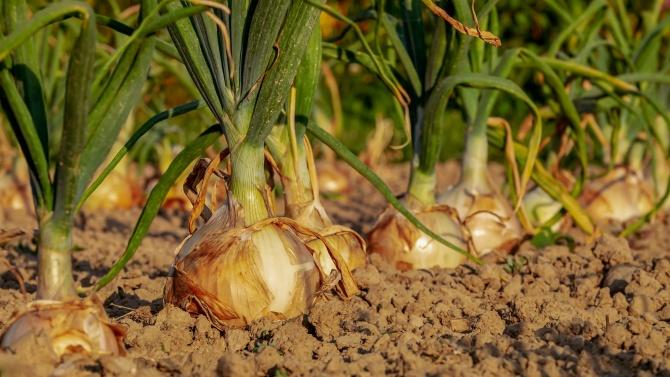 Изтича срокът за доказване на продукция по обвързаната подкрепа за картофи, лук и чесън